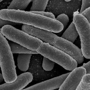 Escherichia coli - E. coli slide microscope view