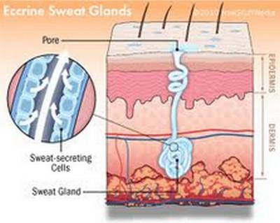 armpit odor-eccrine glands