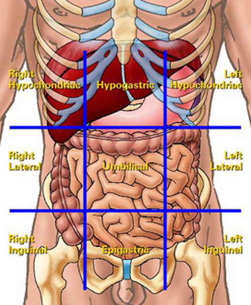 liver location in abdomen quadrants