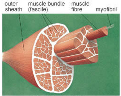 muscle strain muscle physio
