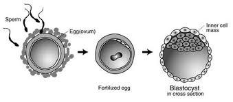 week 3 blastocyst