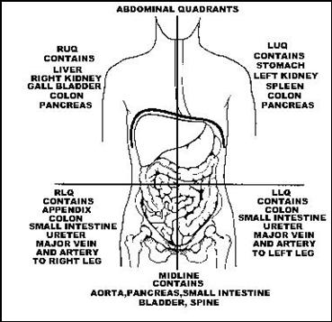 abdominal organs in quadrants