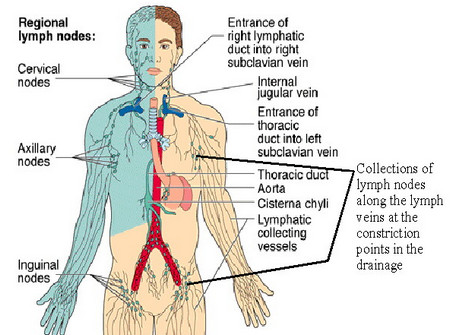 The Lymphatic System Why Is It Important Shantherapy