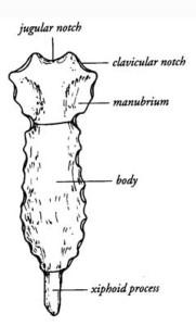 anatomy of sternum