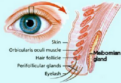 eye cyst-eye glands