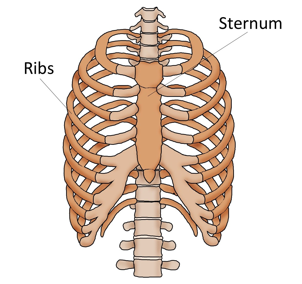 Sternum Pain Breast Bone Pain Causes And Treatment