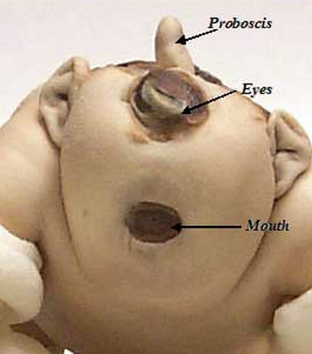 Cyclopia pictures