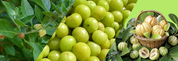 Garcinia Cambogia fruits seeds and leaves