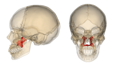Palatine Bone Definition, Location in Skull, Function, Anatomy, Orbit