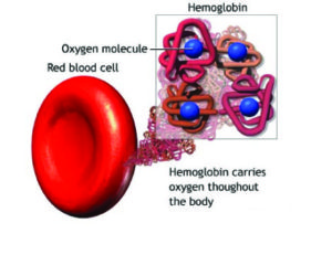 How hemoglobin works